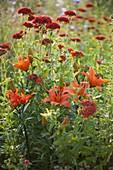 Lilium asiaticum 'Orange Pixie' (Lilien) und Lychnis chalcedonica