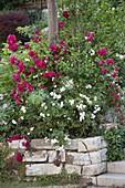 Rote und weiße Rosen auf Trockenmauer