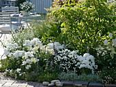 Weißes Beet mit Godetia (Sommerazaleen, Atlasblumen), Lilium (Lilien)