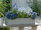 Ageratum (Leberbalsam), Solenopsis axillaris 'Blue Star' (Laurentia), Salvia