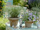 Calibrachoa Sweet Bell's 'Lavender' (Zauberglöckchen), Carex comans