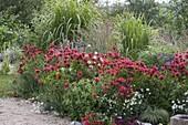 Monarda 'Cambridge Scarlet' (Indianernessel), Verbena bonariensis