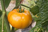 Gelbe Fleisch - Tomate 'Azoychka' (Lycopersicon)