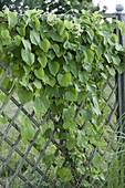Aristolochia durior (Pfeifenwinde) an Scherengitterzaun