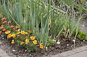 Gemüsebeet mit Zwiebeln (Allium cepa), Tagetes (Studentenblumen)