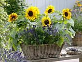 Korbkasten mit Helianthus (Sonnenblumen), Lavendel (Lavandula), Dill