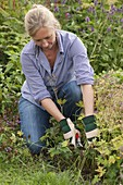 Frau schneidet Geranium (Storchschnabel) zurück