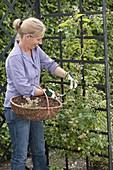 Frau schneidet verblühte Blüten von Rosa 'New Dawn' (Kletterrose) zurück