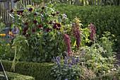 Bauerngarten mit Dahlia 'Black Diamond' (Balldahlien), Amaranthus