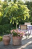 Ficus carica (Echte Feige) , Stamm unterpflanzt mit Pelargonium (Geranien)