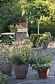 Terracotta - Töpfe mit Stauden bepflanzt