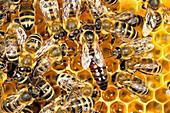 Honigbienen mit Königin auf Waben im Bienenstock, Apis mellifera, Oberbayern, Deutschland / Honey Bees with queen in honeycomb, Apis mellifera, Upper Bavaria, Germany