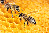 Honigbienen auf Waben im Bienenstock, Apis mellifera, Oberbayern, Deutschland / Honey Bees in honeycomb, Apis mellifera, Upper Bavaria, Germany