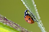 Marienkäfer mit Tautropfen, Coccinella septempunctata, Bayern, Deutschland / Ladybird with dew, Coccinella septempunctata, Germany
