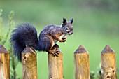 Eichhörnchen auf Gartenzaun, Sciurus vulgaris, Bayern, Deutschland / Red Squirrel on garden fence, Sciurus vulgaris, Bavaria, Germany