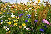 Blumenwiese , Deutschland / flowering meadow, Germany