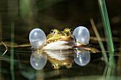 Wasserfrosch quakt, Rana esculenta, Bayern, Deutschland / Aquatic Frog croaking, Rana esculenta, Bavaria, Germany