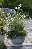 weiße Sommerblumen : Cosmos (Schmuckkörbchen), Lavatera trimestris