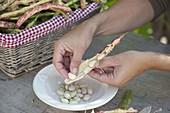 Frisch geerntete Körnerbohne 'Rote Kiebitzbohne' (Phaseolus vulgaris)