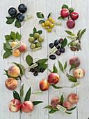 Steinobst / Prunus Tableau mit deutscher Beschriftung