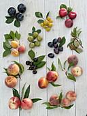 Steinobst / Prunus Tableau ohne Beschriftung