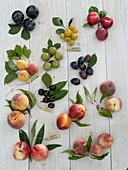 Steinobst / Prunus Tableau mit botanischer Beschriftung