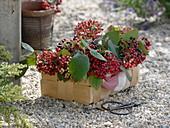 Korb mit Fruchtständen von Viburnum lantana (Wolligem Schneeball)