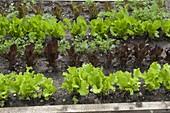 Mischkultur mit bunten Salaten (Lactuca) und Karotten (Daucus)