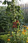 Tomate Salattomate 'Pol Robson' rotbraun von Arche Noah