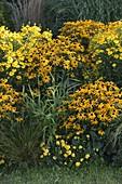 Gelbes Beet : Rudbeckia fulgida 'Goldsturm' (Sonnenhut), Helenium 'Kanaria'