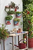 Leere Tomatendosen als Töpfe für Basilikum (Ocimum), Thymian (Thymus)
