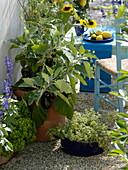 Aubergine 'Ophelia' von Kiepenkerl (Solanum melongena), Oregano