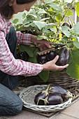 Frau erntet Mini-Aubergine 'Ophelia' (Solanum melongena)