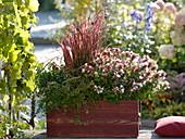 Roter Kasten mit Imperata cylindrica 'Red Baron' (Japanischem Rotgras)