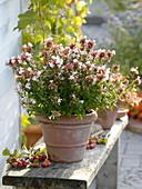 Abelia grandiflora (Abelie, Tausendblütenstrauch) in Terracotta -Topf