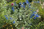 Salvia patens 'Oceana Blue' (Pracht-Salbei)