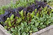 Beet mit Asia-Salaten , Mangold (Beta) und Spinat (Spinacia)