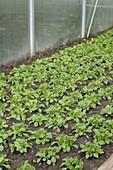 Gewächshaus mit Feldsalat (Valerianella locusta)