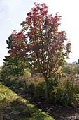 Sorbus commixta 'Carmencita' (Japanische Eberesche)