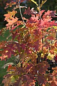 Quercus rubra (Amerikanische Rot - Eiche)