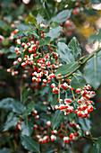 Euonymus fortunei (Kletter-Spindelstrauch) mit Früchten