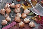 Zwiebeln von Tulipa (Tulpen), kleine Handschaufel, Herbstlaub