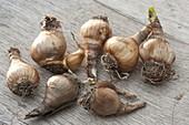 Zwiebeln von Leucojum aestivum (Märzenbecher)