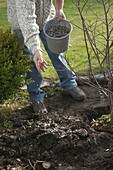 Mann pflanzt Japanischen Fächerahorn ins Beet