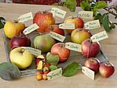 Äpfel (Malus) mit Namensschildern auf Holz-Tablett