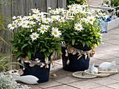 Leucanthemum 'White Mountain' (Margeriten) mit Muscheln maritim dekoriert