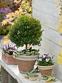 Myrtus (Myrte) Stämmchen , Viola cornuta (Hornveilchen)