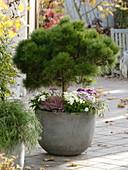 Pinus mugo 'Varella' (Zwergkiefer, Nasto - Symphonie)