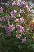 Anemone japonica 'Rosenschale' (Herbstanemone)