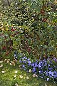 Malus 'Evereste' (Zierapfel) mit Viola cornuta 'Columbine' (Hornveilchen)